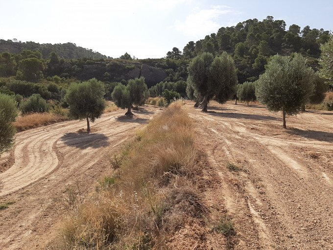 20000m2 land with olive trees in full production